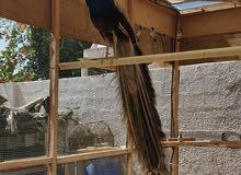 للبيع زوج طاووس