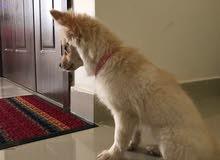 كلب بومارينيان للبيع