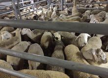 غنم وأبقار للتصدير