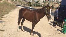 حصان لإيجار او للضمان