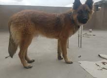كلب للبيع عمر 7 أشهر