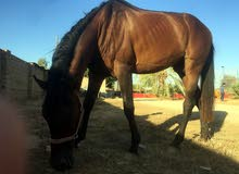 حصان العمر خمس سنوات ثلاث ارباع للبيع