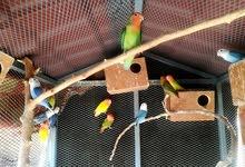 براكة عصافير( بركديلو روز) مضمون للبيع