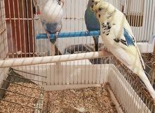 طيور البادجي(بقلينو)