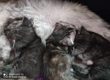 قطط سكوتش فولد مكس شانشيلا للبيع