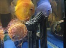 3 discus fish big