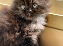 persian cat 2 months for sale