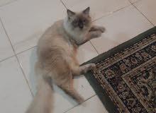 قط نوع هيمالايا للتزاوج