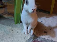 ارنب اليف للبيع