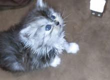 قطط شيرازي مون فيس بيور العمر شهر وعشر ايام