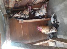 للبيع دجاج حبحاب اسباني شرط الصحات