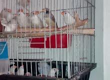 طيور الجنه زيبرا بسعر مناسب جدا جدا