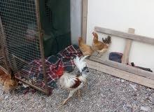 دجاج  بيضات للبيع بي ثلثه ريال