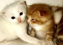 3 قطط شيرازيه للبيع - الموقع الباحه المخواه