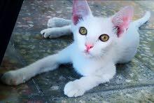 3 قطط شيرازيه للبيع بسعر مناسب