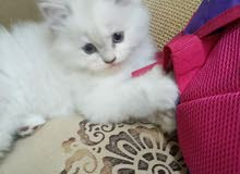 قطة شيرازي عمرهها شهرين