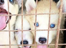 husky blue crystal eyes