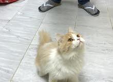 قطط شيرازية للإنتاج عمر 15شهر