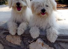 2 كلب فرنسي عمر 9 شهور ذكر وأنثى