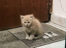 قطه شيرازي امريكي انثى صغيره لونها جميل جدا لعوبه سبب البيع عدم التفرغ وبصحه جيد