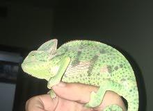 حرباء للبيع chameleon for sale