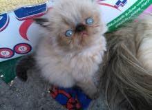 اجمل قطط هيمالايا زورار هاي توب اب مسجل cfa وام تحفه