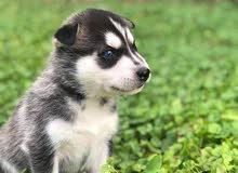 husky female pure 100%