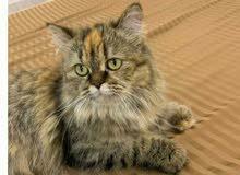 قطة شيرازي هجين للبيع