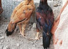 دجاج باكستاني للبيع