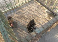 2 British Labrador Retriever for Sale