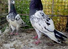 طيور تيدي زوج مع فرخين