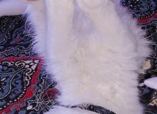 قط شيرازي للبيع.