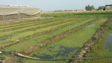 ازولا علف اخضر مع الطحالب للزراعة