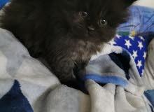 قط صغير بني مون فيس (شيرازي)