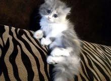 محتاج قطة شيرازية صغيره وحلوه منو عنده