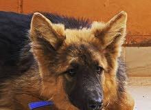 كلبة جيرمن عمر 5 شهور ونص
