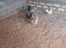 دجاج عربى للبيع