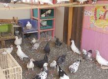 مجموعة طيور و حمام