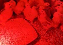 دجاج براهما صغار