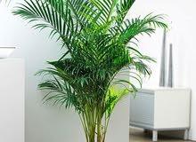 plant areca palm, outdoor- indoor plant