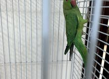 parrot for sale 7 months old not tamed