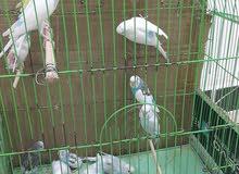 طيور حب 3 أزواج و 4 مخاليف و 4 افراخ السعر 100 وبيهن مجال