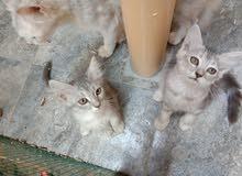 قطط شيرازية جميلة اليفه بعمر شهرين