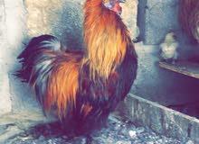 دجاج سلكي