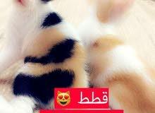 قطط لطيف شيرازيه شعرانيه