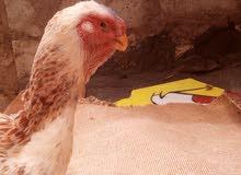 دجاج فارسي للبيع او للبدل