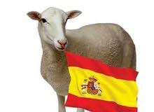 تصدير خروف إسباني