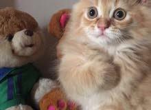 Hamalaya kittens for sale