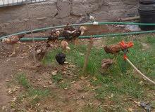 دجاج هراتي رس تركي وبلايمود ملقح  كبار وصغار