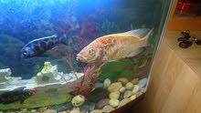 سمكه سكلاي حجم كبير